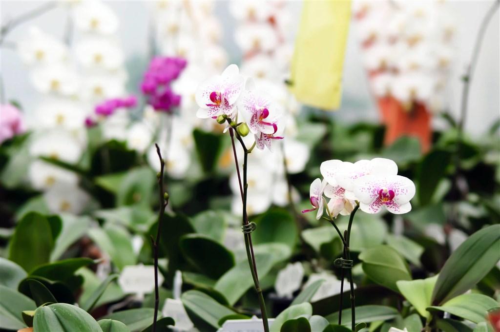 Výstava orchidejí v Drážďanech -